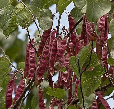 Flora De Malpica De Tajo Arbol Del Amor Cercis Siliquastrum