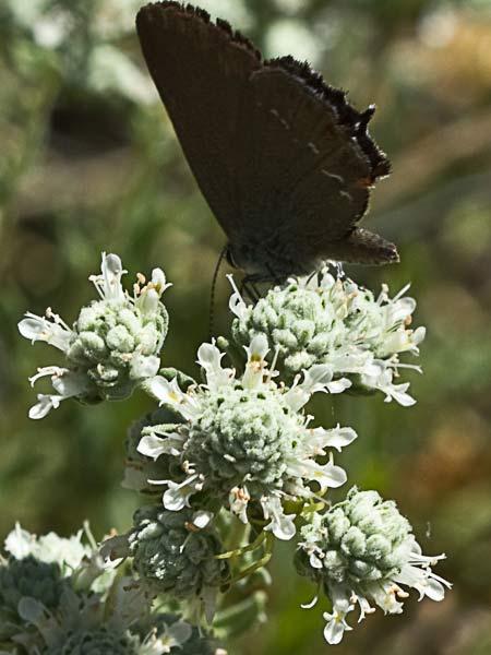 Flora de malpica de tajo tomillo macho teucrium capitatum for Planta ornamental blanca nieves